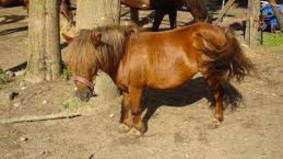 Torino, pony vaga per la città: i vigili lo fermano e lo affidano ad una signora