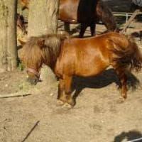 Torino, pony vaga per la città: i vigili lo fermano e lo affidano ad una