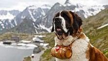 San Bernardo, parto  da primato per i cani  del soccorso alpino