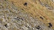 Val d'Aosta, branco  di 11 lupi: l'avvistamento è eccezionale