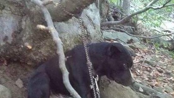 Pinerolo, cane abbandonato in mezzo ai boschi., legato senza cibo e acqua