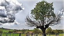 Asti, due anime    in un albero: il prodigio    del ciliegio sopra il gelso