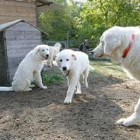 Arrivano nove cani anti lupo per proteggere le greggi negli alpeggi del