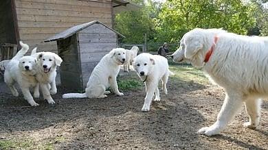 Arrivano nove cani anti lupo per proteggere le greggi negli alpeggi del PIemonte