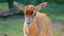 Nasce al bioparco un cucciolo di gazzella di Mohrr, quasi estinta