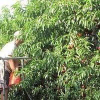 Lavoro nero nelle campagne del Saluzzese: irregolare la metà delle aziende