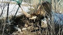 Valsusa, i cacciatori liberano il cervo intrappolato nella rete