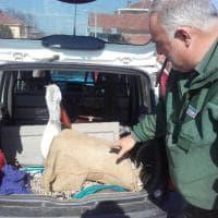 """Pinerolo, in salvo il """"pellicano delle Alpi"""": non stava bene, ora sarà curato"""