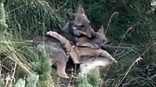 """Val di Susa, l'altra faccia del """"lupo cattivo"""": morsi  e coccole per giocare"""