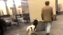 L'uomo e la capra, una strana coppia a spasso nel centro di Torino