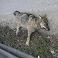 Un altro lupo travolto e ucciso da un'auto in val Chisone