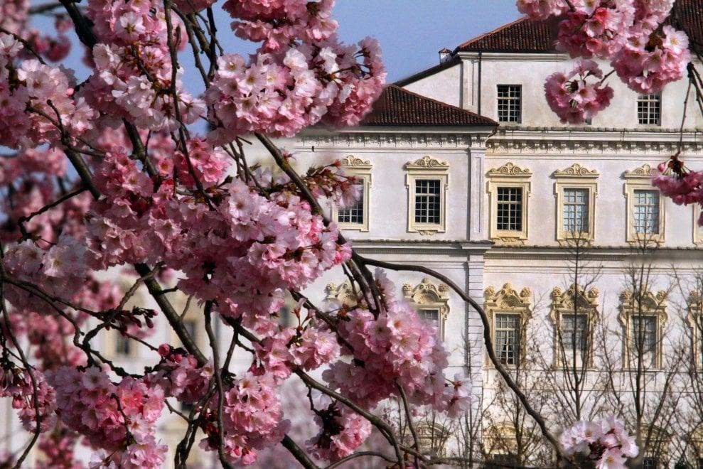 Lo spettacolo dei ciliegi in fiore alla Reggia di Venaria