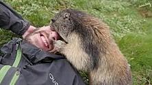 L'exploit della marmotta: vince la timidezza e fa  le coccole all'alpinista
