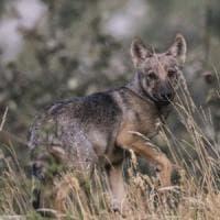 In Piemonte vivono 150 lupi: oltre 5mila km percorsi per il censimento