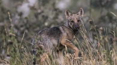 In Piemonte 150 lupi: oltre cinquemila km percorsi per concludere il censimento