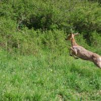 """Torino, l'ultimo viaggio dei quattro """"bambi"""" salvati dai veterinari: sono stati liberati al Col del Lys"""