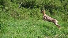 """L'ultimo viaggio    dei """"bambi"""": liberati  al Col del Lys"""