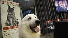 """Anche Belle di """"Belle & Sebastien"""" alla Mole alla mostra sugli animali-star"""