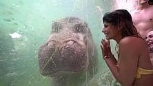 Al bioparco Zoom si nuota con gli ippopotami