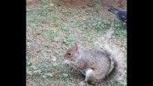 Lo scoiattolo difende la sua noce dall'assedio  dei piccioni