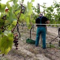 Piemonte, per il caldo vendemmia anticipata di due settimane