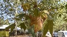 Dopo il grande caldo    per gli alberi di Torino    è già autunno