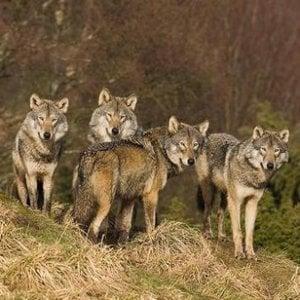 Cinquanta vitelli e pecore uccisi dai lupi nel Cuneese