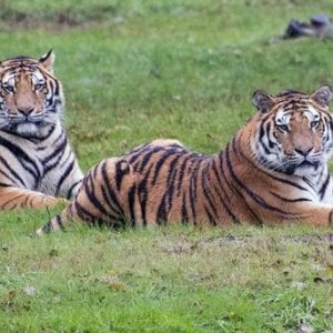 La tigre Drako, dallo zoosafari in Piemonte alla Siberia per ripopolare la steppa