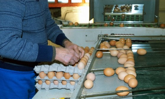 Allarme uova al fipronil, affidati a Torino i test per tutto il Nord Ovest