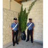 Caselle, le piante-mostro dell'impiegato che coltivava marijuana: fino a
