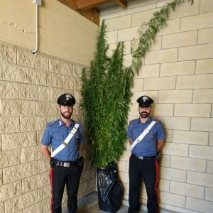 """Caselle, giallo sulle 136 piante di canapa sequestrate all'impiegato. I parenti: """"Non contengono marijuana"""""""