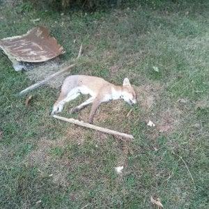 Ivrea, volpe muore avvelenata in un giardino e nessuno rimuove la carcassa