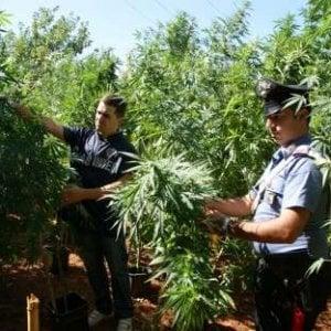 Valchiusella: coltiva cannabis nel bosco, arrestato un operaio