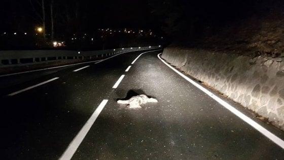 Torino, giovane lupo investito e ucciso alle porte di Salbertrand in alta Val Susa
