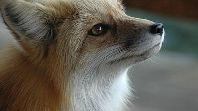 Biella, uccisa con una fucilata la volpe  che era diventata la mascotte del paese