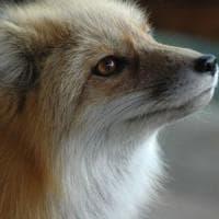Biella, uccisa con un colpo di fucile la piccola volpe che era diventata