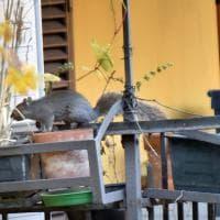 """Torino, gli scoiattoli """"alieni"""" ora invadono anche le case"""