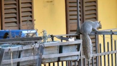 """Torino, gli scoiattoli """"alieni"""" del Valentino adesso invadono anche le case"""