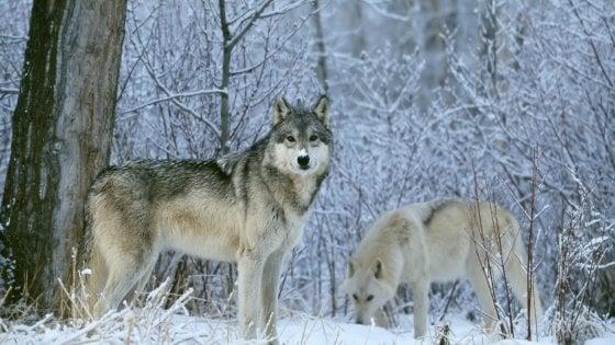 Doppiette contro i lupi: la Val d'Aosta vuole dare il via agli abbattimenti