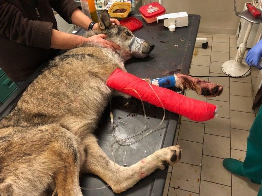 Operato il lupo investito in val di Susa, è salvo