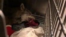 Pranzo di Natale per Wolverine: il lupo investito sta meglio