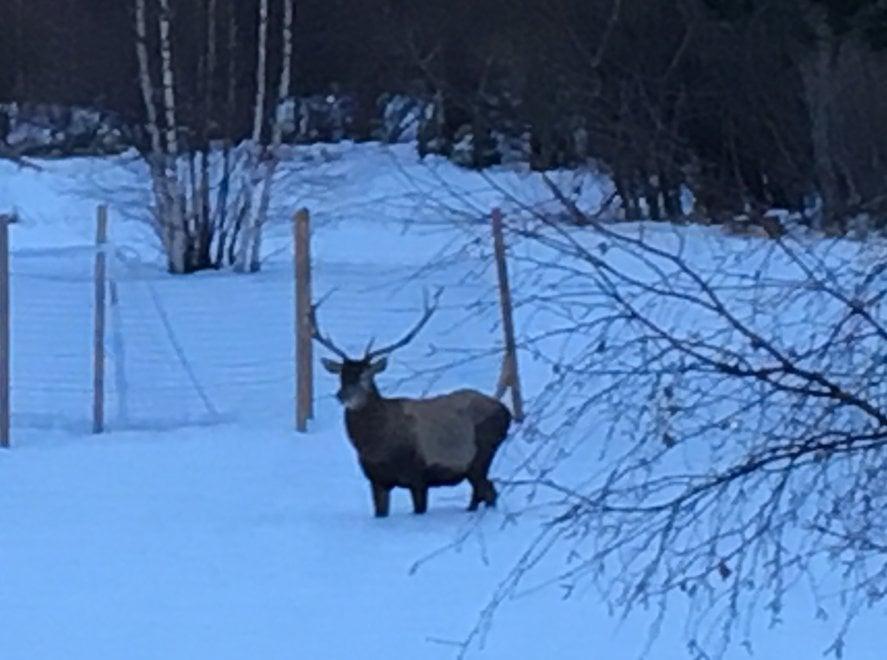 Alta Valsusa, il cervo affamato scende a valle fino alle case di Oulx