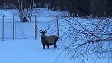 Valsusa, il cervo affamato scende a valle tra le case