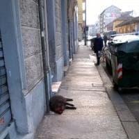 Torino, orrore in borgo Aurora: un cucciolo morto di cinghiale sul marciapiede