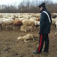 Torino, la guerra dei pascoli dietro la morte di due pastori romeni