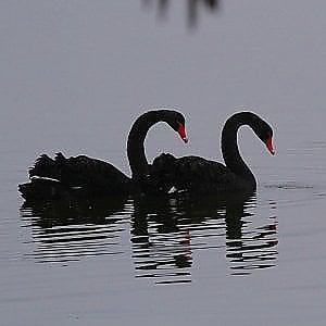 Viverone,  alla ricerca di Adamo e Eva, cigni neri scomparsi dal lago