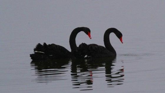 Riappaiono Adamo ed Eva, i due cigni neri del lago di Viverone