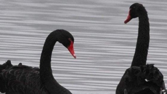 Adamo ed Eva, i cigni neri di Viverone fuggiti forse per covare le loro uova