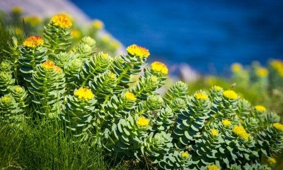 La Rhodiola aiuta a sopravvivere al cambio della stagione
