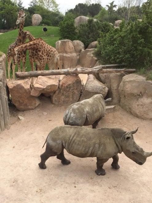 """Ecco Ian e John, rinoceronti bianchi nel """"Serengeti"""" alle porte di Torino"""